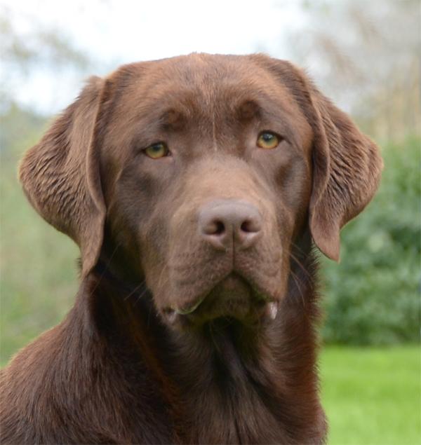 labrador retriever brun